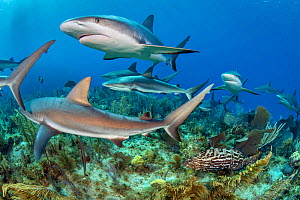 RF - Caribbean reef sharks (Carcharhinus perezi) swimming over a coral reef accompanied by Black grouper (Mycteroperca bonaci). Jardines de la Reina, Gardens of the Queen National Park, Cuba. Caribbea...  -  Alex Mustard