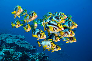 RF - A school of oriental sweetlips (Plectorhinchus vittatus) gather tightly together as they rest during the day on a coral reef. Laamu Atoll, Maldives. Indian Ocean (This image may be licensed eithe...  -  Alex Mustard