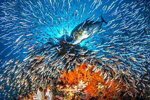 RF - A giant trevally (Caranx ignobilis) scatters baitfish (silversides and cardinalfish) as it hunts on a coral reef. Yillet Islands, Misool, Raja Ampat, West Papua, Indonesia. Tropical West Pacific...  -  Alex Mustard