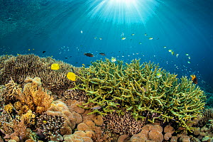 RF - Rays of sunshine over a shallow coral garden, with hard corals Staghorn coral (Acropora sp.), Leather coral: (Sargophyton sp), Staghorn damsel: (Amblyglyphidodon curacao) Yellowtail damsel (Neogl...  -  Alex Mustard