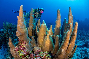 RF - A diver (Joe Crane) looks at a large pillar coral (Dendrogyra cylindrus) growing on a coral reef. Dive site: Old Isaacs. East End, Grand Cayman, Cayman Islands, British West Indies. Caribbean Sea...  -  Alex Mustard