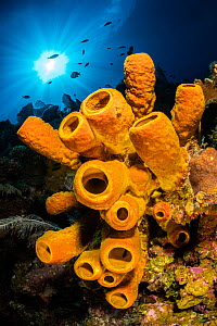 A yellow tube sponge (Aplysina fistularis) growing on a Caribbean coral reef, withsun burst above. East End, Grand Cayman, Cayman Islands, British West Indies. Caribbean Sea.  -  Alex Mustard