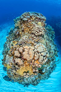 Coral pinnacle covered in rich hard coral growth Finger coral (Porites sp) and Star coral (Orbicella faveolata). Bodden Town, Grand Cayman, Cayman Islands, British West Indies. Caribbean Sea.  -  Alex Mustard