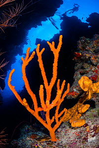 Orange branching sponge (Pilocaulis sp.) growing in a coral canyon on a reef wall. East End, Grand Cayman, Cayman Islands, British West Indies. Caribbean Sea.  -  Alex Mustard