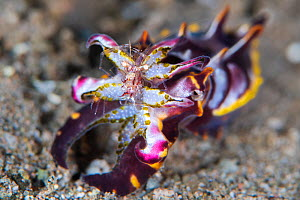 A colourful flamboyant cuttlefish (Metasepia pfefferi) with a captured shrimp in its tentacles. Dauin, Dauin Marine Protected Area, Dumaguete, Negros, Philippines. Bohol Sea, tropical west Pacific Oce...  -  Alex Mustard