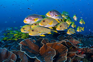 A mixed school of diagonal-banded sweetlips (Plectorhinchus lineatus) and ribbon sweetlips (Plectorhinchus polytaenia) gather above plate corals, with convict blennies (Pholidichthys leucotaenia). Sau...  -  Alex Mustard