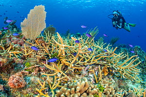 Diver swimming over a coral reef with Staghorn coral (Acropora cervicornis) with Blue chromis (Chromis cyanea) and Spotted scorpionfish (Scorpaena plumieri). East End, Grand Cayman, Cayman Islands, Br...  -  Alex Mustard