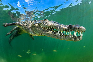 American crocodile (Crocodylus acutus) shows off its teeth. Jardines de la Reina, Gardens of the Queen National Park, Cuba. Caribbean Sea.  -  Alex Mustard