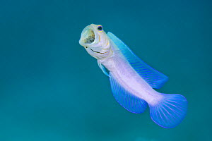 Yellowhead jawfish (Opistognathus aurifrons) male rises up from its burrow and aerates the eggs he is mouthbrooding. East End, Grand Cayman, Cayman Islands, British West Indies. Caribbean Sea.  -  Alex Mustard