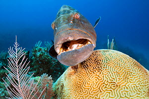 A large black grouper (Mycteroperca bonaci) hovers over a symmeterical brain coral (Diploria strigosa) on a coral reef. Jardines de la Reina, Gardens of the Queen National Park, Cuba. Caribbean Sea.  -  Alex Mustard