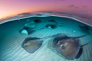 A group of large stingrays (Dasyatis americana) swim over sand in shallow water, in a split level photo taken at dawn. The Sandbar, Grand Cayman, Cayman Islands. British West Indies. Caribbean Sea.  -  Alex Mustard