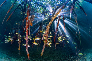 Sunbeams play through the roots of red mangrove trees (Rhizophora sp.), encrusted with marine life and home to schoolmaster snappers (Lutjanus apodus). Jardines de la Reina, Gardens of the Queen Natio...  -  Alex Mustard