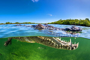 Split level photo of an American crocodile (Crocodylus acutus) beneath red mangrove trees (Rhizophora mangle) above a bed of seagrass ( Thalassia testudinum). Jardines de la Reina, Gardens of the Quee...  -  Alex Mustard
