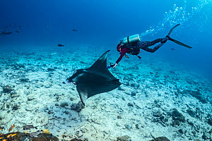 Marine biologist using an underwater ultrasound to scan a female manta ray (Mobula alfredi) over a coral reef. Laamu Atoll, Maldives. Indian Ocean  -  Alex Mustard