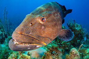 Black grouper (Mycteroperca bonaci) on a coral reef. Jardines de la Reina, Gardens of the Queen National Park, Cuba. Caribbean Sea.  -  Alex Mustard