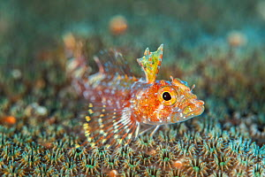 A portrait of a ofty triplefin (Enneanectes altivelis) living on star coral. East End, Grand Cayman, Cayman Islands, British West Indies. Caribbean Sea.  -  Alex Mustard