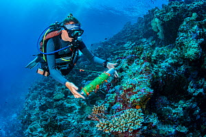 Marine biologist lays out a transect as part of a regular survey of a coral reef. Laamu Atoll, Maldives. Indian Ocean.  -  Alex Mustard