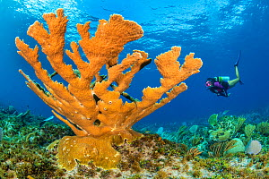 Diver approaches a large colony of Elkhorn coral (Acropora palmata) growing in shallow water on a coral reef. Wreck of the Glamis, East End, Grand Cayman, Cayman Islands, British West Indies. Caribbea...  -  Alex Mustard