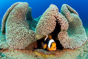 Saddleback anemonefish (Amphiprion polymnus) barks a warning as it guards a clutch of developing eggs (beneath it) laid on a small stone, below a fold in its home, a Haddon's sea anemone (Stichoda...  -  Alex Mustard