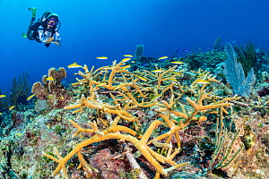 Planted colony of Staghorn coral (Acropora cervicornis) growing on a frame on a coral reef with bluehead (blue-headed wrasse: Thalassoma bifasciatum) and diver (Sam Lungari). Dive site: Playing Field....  -  Alex Mustard