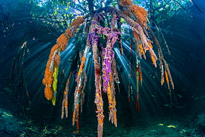 Sunbeam on through the roots of red mangrove trees (Rhizophora sp.), encrusted with marine life (sponges and seasquirts). Jardines de la Reina, Gardens of the Queen National Park, Cuba. Caribbean Sea.  -  Alex Mustard