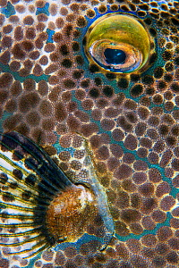 Eye and fin detail of a scrawled filefish (Aluterus scriptus) on a coral reef. Arborek Island, Raja Ampat, West Papua, Indonesia. Dampier Strait. Ceram Sea. Tropical West Pacific Ocean.  -  Alex Mustard