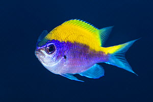 Sunshinefish (Chromis insolata) living on a deep wall on a coral reef. East End, Grand Cayman, Cayman Islands, British West Indies. Caribbean Sea.  -  Alex Mustard