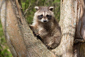 Raccoon (Procyon lotor) cub aged approximately five weeks sitting in tree fork.Connecticut, USA. May.  -  Lynn M. Stone