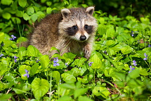 Raccoon (Procyon lotor) cub aged approximately five weeks sitting amongst Violets (Viola sp). Connecticut, USA. May.  -  Lynn M. Stone
