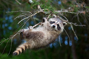 Raccoon (Procyon lotor) cub aged approximately five weeks climbing in tree. Connecticut, USA. May.  -  Lynn M. Stone