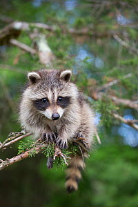 Raccoon (Procyon lotor) cub aged approximately five weeks sitting in tree. Connecticut, USA. May.  -  Lynn M. Stone