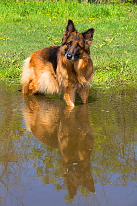 Long-haired German Shepherd Dog cocking head, standing in water to cool down. Illinois, USA.  -  Lynn M. Stone