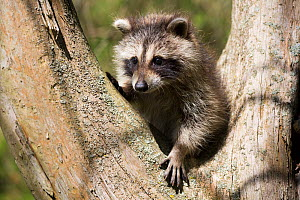 Raccoon (Procyon lotor) cub in tree fork, aged approximately five weeks. Connecticut, USA. May.  -  Lynn M. Stone