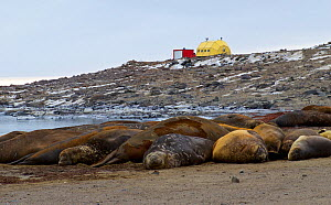 Southern elephant seals (Mirounga leonina) moulting in wallow in front of Davis station, Antarctica. March 2015  -  Fred Olivier