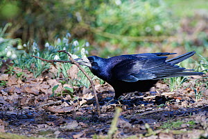 Rook (Corvus frugilegus) on woodland floor near flowering Snowdrops (Galanthus nivalis) with a stick in its beak it has collected for its nest, Gloucestershire, UK, February.  -  Nick Upton
