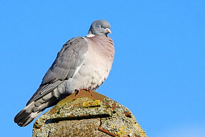 Wood pigeon (Columba palumbus) perched on a cottage roof with its eyes shut, Gloucestershire UK, February.  -  Nick Upton