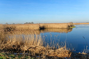 Reed beds (Phragmites australis) and open water pool with a mix of wildfowl at RSPB Otmoor, Oxfordshire, UK, January 2020.  -  Nick Upton