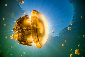 Stingless golden jellyfish (Mastigias sp.), backlit by the sun, in a landlocked marine lake in the middle of an island. Their golden colour comes from endosymbiotic algae, which provide nutrition for...  -  Alex Mustard