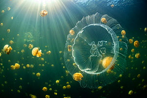 Moon jelly (Aurelia aurita) swimming in front of an aggregation of stingless Golden jellyfish (Mastigias sp.) in a landlocked marine lake in the middle of an island. Their golden colour comes from end...  -  Alex Mustard