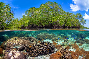 Split level photo of mangrove scenery, with hard corals ( including Goniopora sp.; Heliopora sp; Porites sp.) growing below Red mangrove tree: (Rhizophora mangle). Nampale Islands, Misool, Raja Ampat,...  -  Alex Mustard