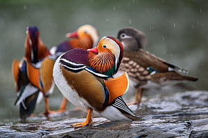 Mandarin duck (Aix galericulata) males displaying with female in the background, Yuyuantan Park, Beijing, China  -  Magnus Lundgren / Wild Wonders of China