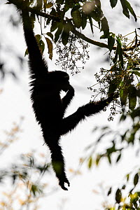 Skywalker hoolock gibbon / Gaoligong hoolock gibbon (Hoolock tianxing) hanging from tree, Gaoligong Mountains National Nature Reserve, Yunnan Province, China  -  Magnus Lundgren / Wild Wonders of China