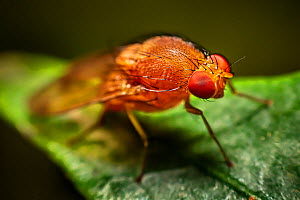 Red minute fly with facetted eyes, Dehong, Yunnan Province, China  -  Magnus Lundgren / Wild Wonders of China