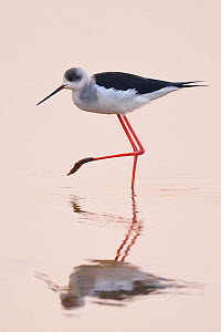 Black-winged stilt (Himantopus himantopus) standing in water with reflection at the Nansha wetland reserve, Guangdong province, China  -  Staffan Widstrand / Wild Wonders of China