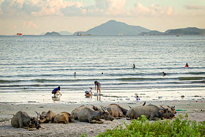 Wild buffalos (Bubalus arnee) resting on the beach, Pui O, Lantau Island, Hong Kong, China  -  Wayne Wu Ying / Wild Wonders of China