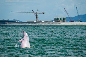 Indo-Pacific humpback dolphin (Sousa chinensis) Tai O, western side of Lantau Island, Hong Kong, China  -  Wayne Wu Ying / Wild Wonders of China