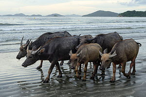 Wild buffalos (Bubalus arnee) on beach in Pui O, Lantau Island, Hong Kong, China  -  Wayne Wu Ying / Wild Wonders of China