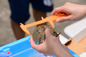 Horseshoe crab (Tachypleus tridentatus) measured at release event organized by Ocean Park Conservation Foundation, Hak Pak Nai beach, Yue Long, Hong Kong, China  -  Wayne Wu Ying / Wild Wonders of China