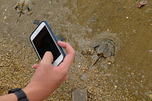 Person taking picture of Horseshoe crab (Tachypleus tridentatus) release event oragnized by Ocean Park Conservation Foundation, Hak Pak Nai beach, Yue Long, Hong Kong, China  -  Wayne Wu Ying / Wild Wonders of China