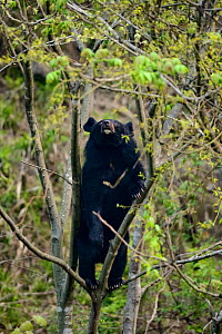Asian black bear (Ursus thibetanus) climbing small tree to feed on leaves, Tangjiahe Nature Reserve, Sichuan, China.  -  Wayne Wu Ying / Wild Wonders of China